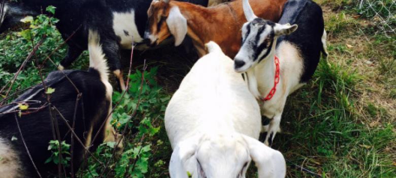 TIF loan aids growing goat farm